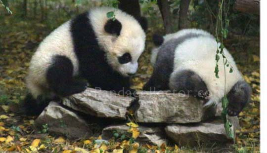 Panda cubs playing at Chengdu Research Base of Giant Panda Breeding